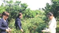 Nông dân Nghệ An thu hàng trăm triệu mỗi năm nhờ trồng cây xen canh