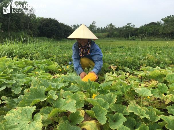 Đa dạng các loại rau, quả mùa hè ở Hoàng Mai